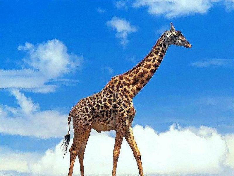la-giraffa-vanitosa
